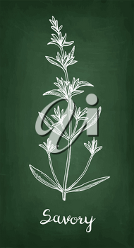 Savory. Chalk sketch on blackboard background. Hand drawn vector illustration. Retro style.