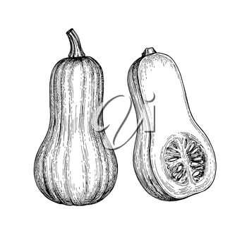 Ink sketch of butternut squash isolated on white background. Hand drawn vector illustration. Retro style.