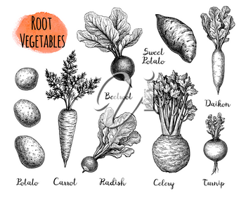 Root Vegetables set. Ink sketch collection isolated on white background. Vegetables set. Hand drawn vector illustration. Retro style.