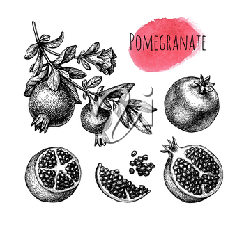 Pomegranate branch with fruitage and flower. Fruits and seeds. Ink sketch isolated on white background. Hand drawn vector illustration. Retro style.