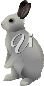 Gray rabbit with brown ears, stands on a white background.
