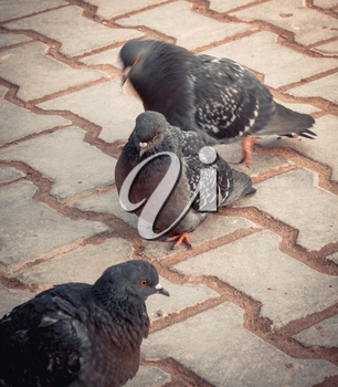 Blue-gray pigeons walking on the pavement in the morning.