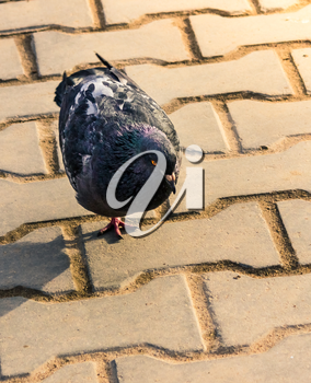 The rock pigeon walking on the pavement in the morning.