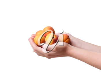 ripe apricots in a hand on a white background