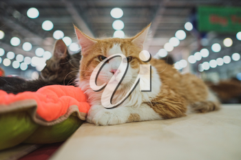Cat show. Kitten looks into the camera. Cat breed. Pets. Kitten with a big mustache. Exhibition or fair cats