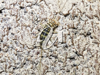 silverfish. Insect Lepisma saccharina, Thermobia domestica in normal habitat