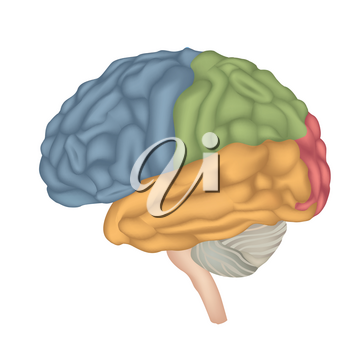 Brain anatomy. Human brain lateral view. Illustration isolated on white background.