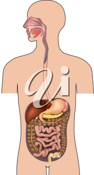 Human digestive system. Gastrointestinal system with details. Vector illustration isolated on white background.