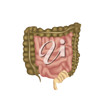human digestive system, digestive tract or alimentary canal. Large Intestine isolated.
