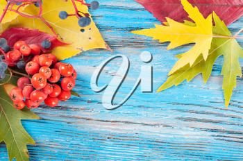 Autumn background with forest berries and yellow maple leaves on a blue wooden surface.