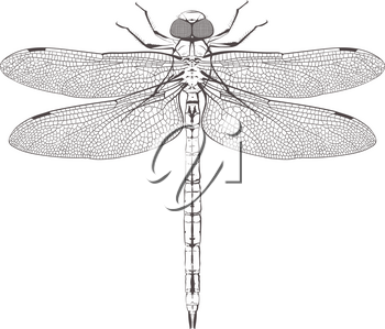 big post symmetrical dragonfly with carefully painted wings isolated on white background