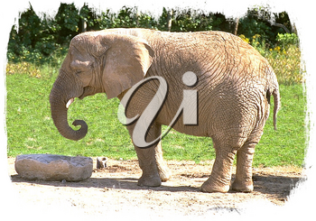 Royalty Free Photo of a Baby Elephant