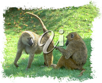 Royalty Free Photo of a Pair of Baboons