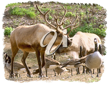 Royalty Free Photo of a Caribou and Geese