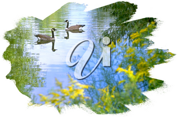 Royalty Free Photo of a Pond of Canada Geese
