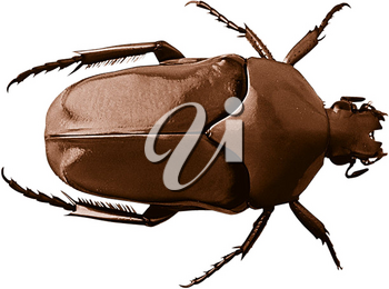 Royalty Free Photo of a Shiny June Beetle Bug