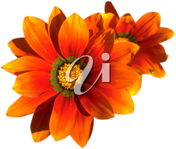 Royalty Free Photo of a Bunch of Orange Chrysanthemums