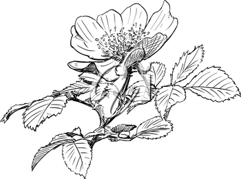Vector artistic pen and ink hand drawing of wild rose branch with blooming flower.