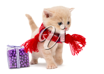 Cute kitten breeds British  in a red scarf, isolated on white.