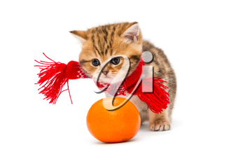 Little kitten British marble in a red scarf and a tangerine, isolated on white.