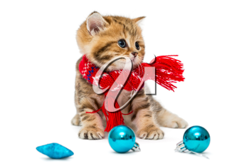 Cute kitten breeds British Marble in a red scarf, isolated on white.