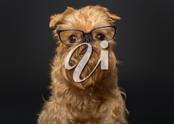 Dog portrait with glasses, breed Brussels Griffon on a black background