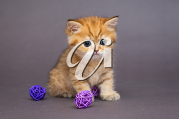 Red British kitten playing with balls on grey background