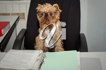 Serious dog in glasses working at office with documents