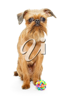 Dog breed Brussels Griffon and ball , isolated on white background