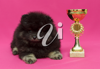 Small, black Pomeranian puppy and Cup on red background
