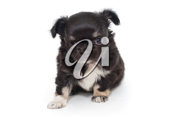 Small black Chihuahua puppy isolated on a white background