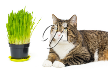 Domestic  gray cat and pot with cat grass, isolated on white