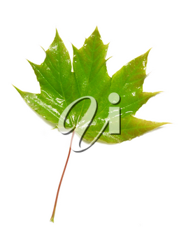 Green wet maple leaf isolated on white