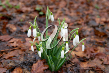 Spring flowers- white snowdrops in the forest. Soft focus.