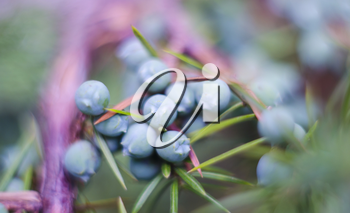 Bunch of juniper berries on a blurred background.