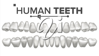 3D Teeth Set Vector. Human Upper And Lower Teeth. Dental Health. Stomatology Dentistry. 3D Clean White Tooth Model. Realistic Isolated Illustration