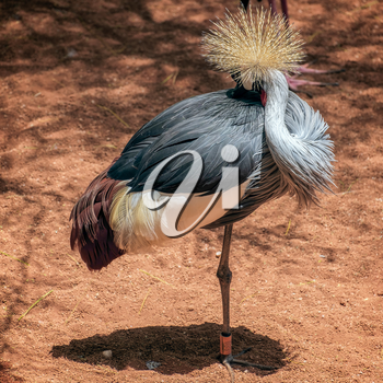Black Crowned Crane at the Bioparc in Fuengirola