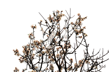 Blooming almond tree branches on white background. Spring season abstract.