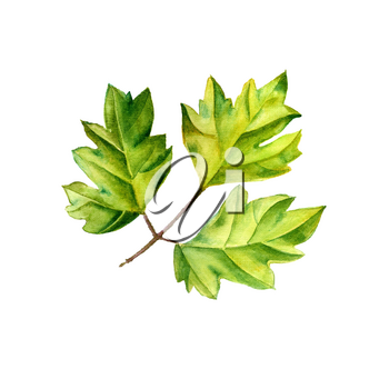 A leaf of a tropical plant. Ivy Cissus - ampelnoe plant, liana. Watercolor illustration. Isolated flower.