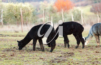 Breeding of alpacas in Tuscany for the production of wool.