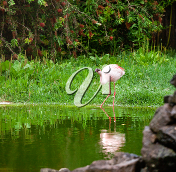 One pink flamingo in the nature