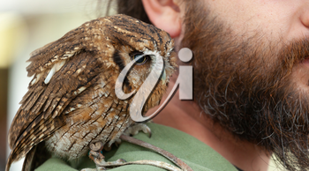Small brown owl sitting on shoulder of the trainer.