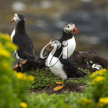 Three puffins on a land near Tobermory, Scotland